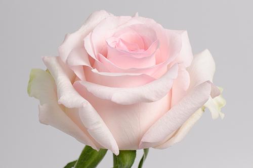 роза нена фото