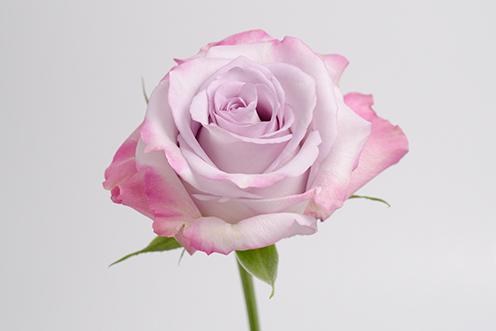 Роза сорт Purple Haze купить оптом с доставкой из Эквадора