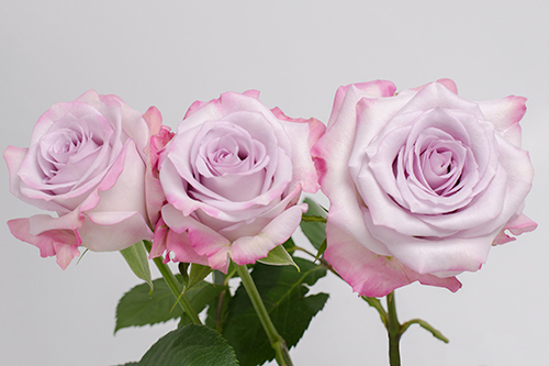 Роза сорт Purple Haze заказать оптом с доставкой из Эквадора