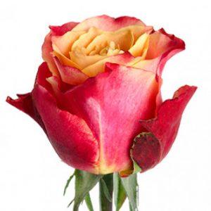 Розы сорта 3D цветы оптом из Эквадора
