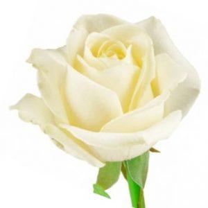 Оптовая цена розы ANASTACIA из Эквадора