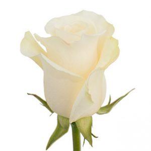 Розы сорта ALBA оптом из Эквадора