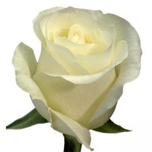 Оптовая цена розы Amelia из Эквадора
