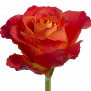 Розы сорта Atomic оптом из Эквадора
