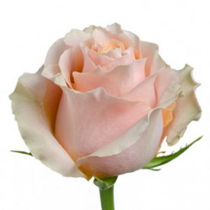 Оптовые поставки розы сорта Carpe Diem из Эквадора