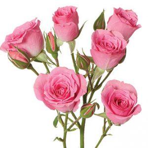 розы сорта Classic Lydia оптом из Эквадора