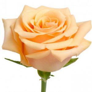 Розы сорта Cumbia оптом из Эквадора