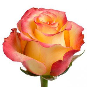 Розы сорта Encanto оптом из Эквадора