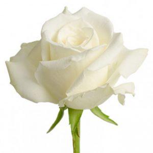 Розы сорта Eskimo оптом из Эквадора