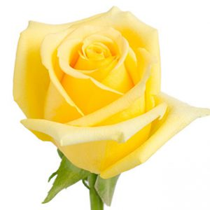 Розы сорта Hummer оптом из Эквадора