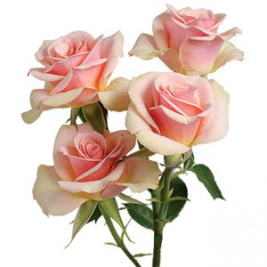 розы сорта Ilse оптом из Эквадора