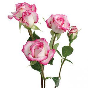 поставки кустовой розы сорта La Minuette оптом из Эквадора