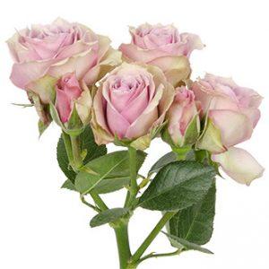 Заказать оптом розы сорта Lavender Irischka из Эквадора