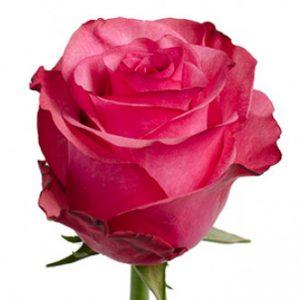 Розы сорта Lola оптом из Эквадора