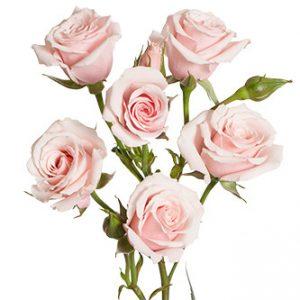 розы сорта Majolika оптом из Эквадора