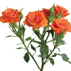 Розы сорта Neo оптом из Эквадора