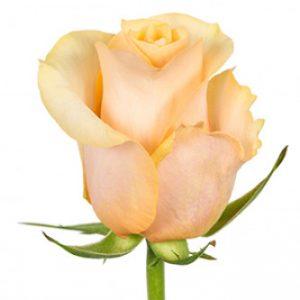 Розы сорта Peach Love оптом из Эквадора