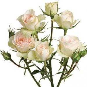 розы сорта Petite Chablis оптом из Эквадора