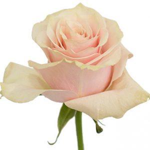 Розы сорта Pink Mondial оптом из Эквадора