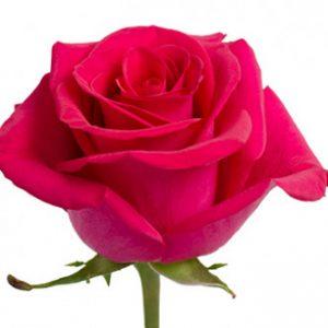 Оптовая поставка розы сорта Pizzazz из Эквадора