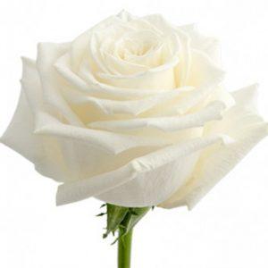 Розы сорта Playa Blanca оптом из Эквадора