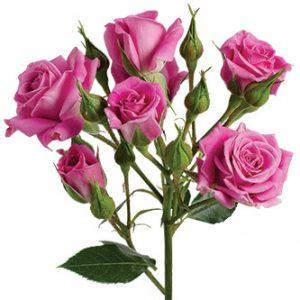 Розы сорта Purple Sky оптом из Эквадора