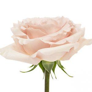 Заказать оптом розы сорта Quicksand из Эквадора