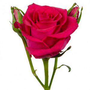 розы сорта RVR Pizzazz оптом из Эквадора