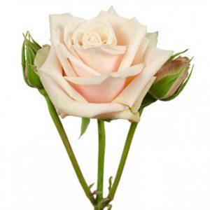 розы сорта RVR Sahara оптом из Эквадора