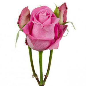 розы сорта RVR Soulmate оптом из Эквадора