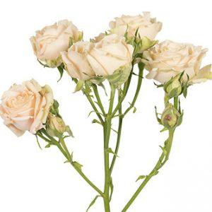 розы сорта Sahara Sensation оптом из Эквадора