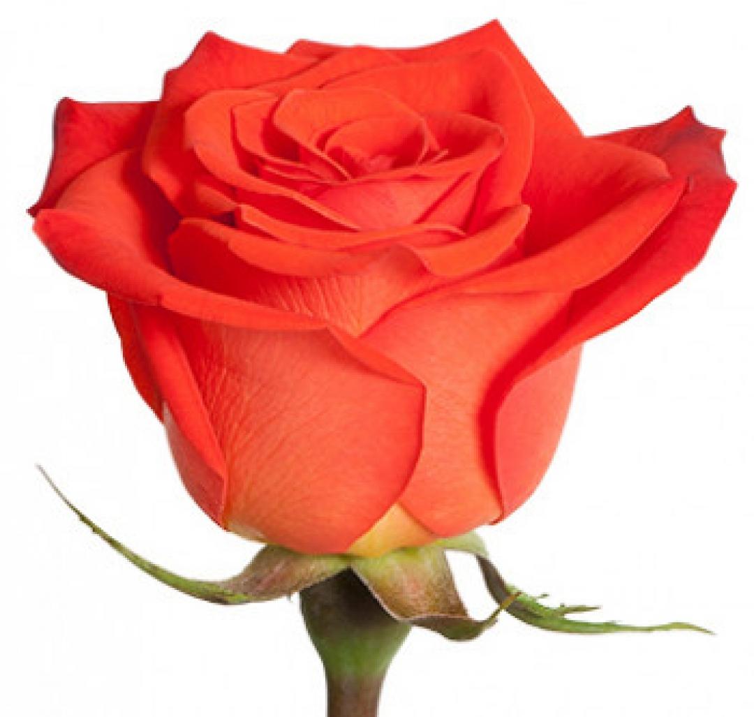 Цветы в харькове оптом роза сантана екатеринбург, новорожденной