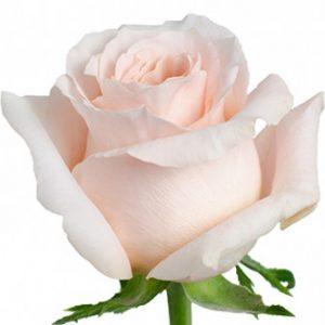 Розы сорта Shimmer оптом из Эквадора