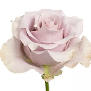Розы сорта Silver Light оптом из Эквадора