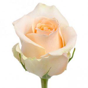Розы сорта Tiffany оптом из Эквадора