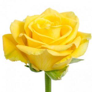 Розы сорта Yellow Bikini оптом из Эквадора