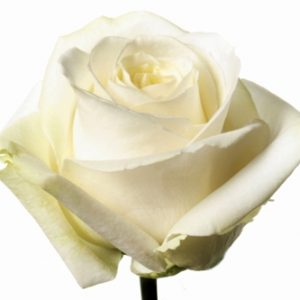 Оптовая цена розы Avalanche из Эквадора