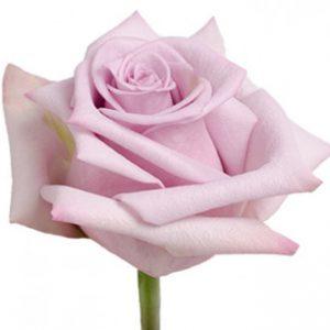 Оптовые поставки розы сорта avant из Эквадора