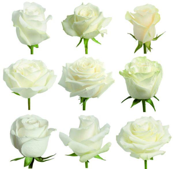 Заказать розы Mix оптом в Эквадоре